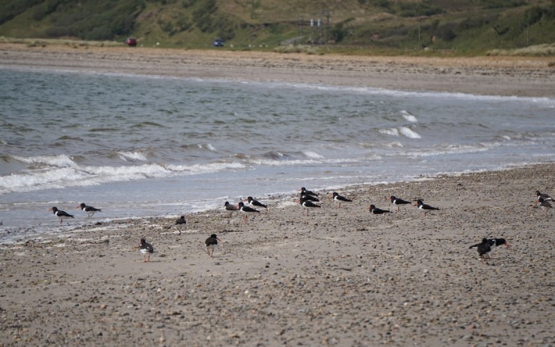 Oyster catchers on the beach